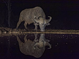 Cape Buffalo (Syncerus caffer) drinking at waterhole at night, KwaZulu-Natal, South Africa  -  Winfried Wisniewski