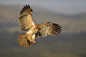 Tawny Eagle (Aquila rapax) flying, KwaZulu-Natal, South Africa  -  Winfried Wisniewski