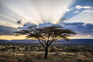 Acacia (Acacia sp) trees at sunset, northern Kenya - Andrew Peacock