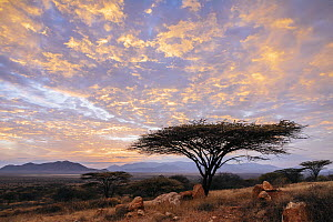 Acacia (Acacia sp) tree at Sunrise, El Barta, Kenya  -  Andrew Peacock
