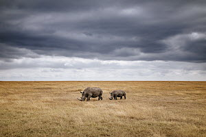 White Rhinoceros (Ceratotherium simum) mother and calf in grassland, Ol Pejeta Conservancy, Kenya  -  Andrew Peacock