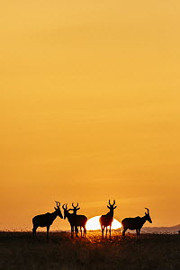 Common Hartebeest (Alcelaphus buselaphus) herd at sunrise, Ol Pejeta Conservancy, Kenya  -  Andrew Peacock