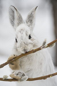 Snowshoe Hare (Lepus americanus) browsing on a Pussy Willow (Salix discolor) twig in winter, Alaska  -  Michael Quinton
