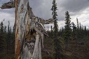 Northern Hawk Owl (Surnia ulula) parent bringing Northern Red-backed Vole (Clethrionomys rutilus)prey to chicks in nest in taiga, Alaska  -  Michael Quinton