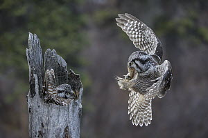 Northern Hawk Owl (Surnia ulula) male bringing Northern Red-backed Vole (Clethrionomys rutilus) prey to incubating female, Alaska  -  Michael Quinton
