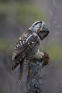 Northern Hawk Owl (Surnia ulula) with Northern Red-backed Vole (Clethrionomys rutilus) prey, Alaska  -  Michael Quinton