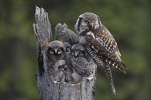 Northern Hawk Owl (Surnia ulula) parent with chicks at nest, Alaska - Michael Quinton
