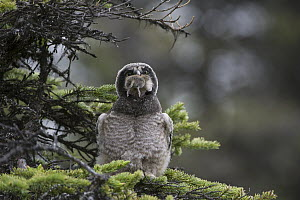 Northern Hawk Owl (Surnia ulula) fledgling swallowing Northern Red-backed Vole (Clethrionomys rutilus) prey, Alaska, sequence 2 of 5  -  Michael Quinton