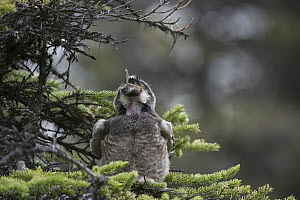 Northern Hawk Owl (Surnia ulula) fledgling swallowing Northern Red-backed Vole (Clethrionomys rutilus) prey, Alaska, sequence 3 of 5  -  Michael Quinton