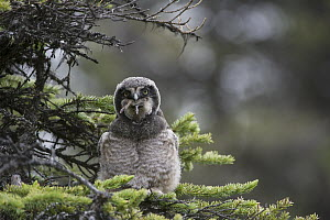 Northern Hawk Owl (Surnia ulula) fledgling swallowing Northern Red-backed Vole (Clethrionomys rutilus) prey, Alaska, sequence 4 of 5  -  Michael Quinton