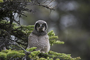 Northern Hawk Owl (Surnia ulula) fledgling swallowing Northern Red-backed Vole (Clethrionomys rutilus) prey, Alaska, sequence 5 of 5  -  Michael Quinton