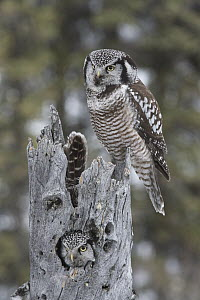 Northern Hawk Owl (Surnia ulula) pair at nest, Alaska  -  Michael Quinton