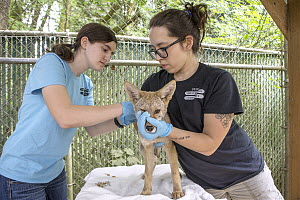 Coyote (Canis latrans) rehabilitators, Miki Forsberg and Allison Dianis, vaccinating two month old orphan pup, Sarvey Wildlife Care Center, Arlington, Washington  -  Suzi Eszterhas