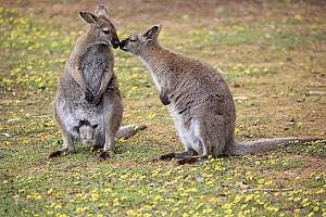 Red-necked Wallaby (Macropus rufogriseus) pair smelling each other, Cudlee Creek Conservation Park, South Australia, Australia  -  Juergen & Christine Sohns