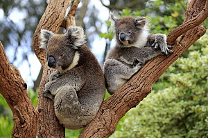 Koala (Phascolarctos cinereus) mother with joey in tree, Parndana, Kangaroo Island, South Australia, Australia - Juergen & Christine Sohns