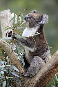 Koala (Phascolarctos cinereus) feeding on eucalyptus leaves in tree, Parndana, Kangaroo Island, South Australia, Australia - Juergen & Christine Sohns