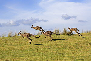 Eastern Grey Kangaroo (Macropus giganteus) group jumping, Maloney Beach, New South Wales, Australia  -  Juergen & Christine Sohns