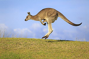 Eastern Grey Kangaroo (Macropus giganteus) mother with joey jumping, Maloney Beach, New South Wales, Australia  -  Juergen & Christine Sohns