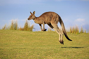 Eastern Grey Kangaroo (Macropus giganteus) male jumping, Maloney Beach, New South Wales, Australia - Juergen & Christine Sohns