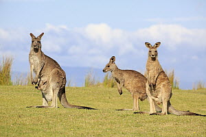 Eastern Grey Kangaroo (Macropus giganteus) group including mother with joey, Maloney Beach, New South Wales, Australia - Juergen & Christine Sohns