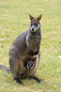 Swamp Wallaby (Wallabia bicolor) mother with joey, Mount Lofty, South Australia, Australia - Juergen & Christine Sohns