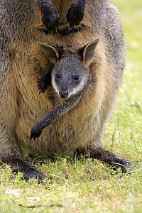 Swamp Wallaby (Wallabia bicolor) mother and joey, Mount Lofty, South Australia, Australia  -  Juergen & Christine Sohns