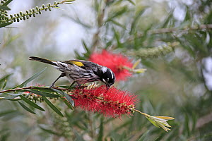 New Holland Honeyeater (Phylidonyris novaehollandiae) feeding on flower nectar, Parndana, Kangaroo Island, South Australia, Australia - Juergen & Christine Sohns