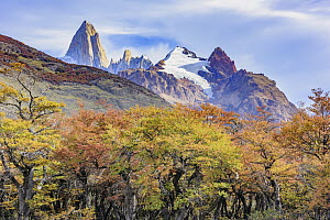 Forest in autumn near mountains, Mount Fitz Roy, Patagonia, Chile  -  Shane P. White