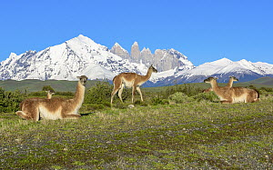 Guanaco (Lama guanicoe) herd and mountains, Torres del Paine, Torres del Paine National Park, Patagonia, Chile  -  Shane P. White