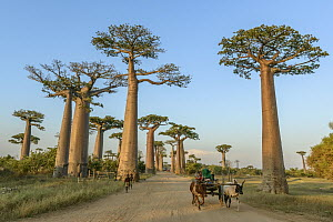 Grandidier's Baobab (Adansonia grandidieri) trees along road used by locals, Avenue of the Baobabs, Madagascar - Shane P. White