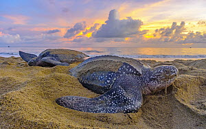 Leatherback Sea Turtle (Dermochelys coriacea) females laying eggs on beach at sunset, Trinidad and Tobago, Caribbean  -  Shane P. White