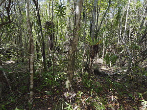 Humbertiodendron Tree (Humbertiodendron saboureaui), the last remaining tree, after logging, in forest, Andranokoditra, Madagascar  -  Daniel J. Cox