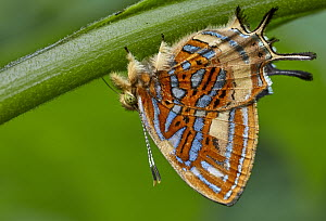 Jewelmark (Sarota sp) butterfly, Valle del Cauca, Colombia  -  Paul Bertner