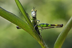 Grasshopper (Eumastacidae), Nuqui, Colombia - Paul Bertner
