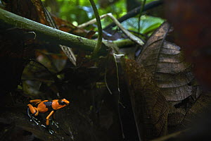 Red-banded Poison Frog (Dendrobates lehmanni), Valle del Cauca, Colombia - Paul Bertner