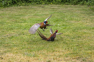 Ring-necked Pheasant (Phasianus colchicus) males in territorial fight, Texel, Netherlands  -  Duncan Usher