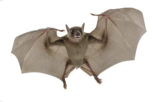 Egyptian Fruit Bat (Rousettus aegyptiacus) flying, Gorongosa National Park, Mozambique - Piotr Naskrecki