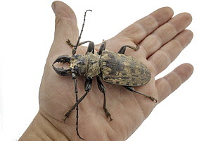 Longhorn Beetle (Tithoes confinis) on hand, Gorongosa National Park, Mozambique - Piotr Naskrecki