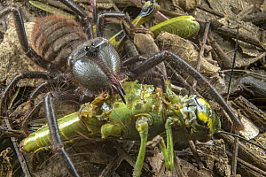 Sun Spider (Zeria sp) feeding on grasshopper prey, Gorongosa National Park, Mozambique  -  Piotr Naskrecki