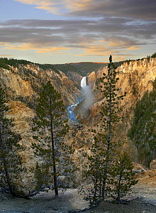 Conifers and Lower Yellowstone Falls, Yellowstone River, Grand Canyon of Yellowstone, Yellowstone National Park, Wyoming  -  Tim Fitzharris