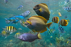 Butterflyfish (Chaetodon sp), Damselfish (Chromis sp), Sergeant Major Damselfish (Abudefduf saxatilis), Ray-finned Fish (Acanthuridae), and Wrasse (Labridae) school, Philippines  -  Tim Fitzharris