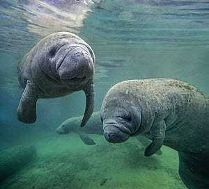 West Indian Manatee (Trichechus manatus) group, North America  -  Tim Fitzharris