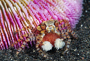 Boxing Crab (Lybia tessellata) female with eggs holding sea anemone for defense, Bali, Indonesia - Gary Bell/ Oceanwide
