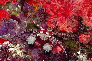 Boxing Crab (Lybia tessellata) holding sea anemone for defense, Bali, Indonesia - Gary Bell/ Oceanwide