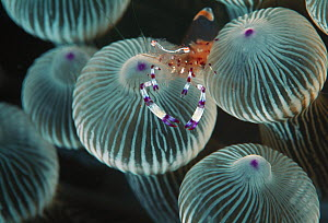 Anemone Shrimp (Periclimenes brevicarpalis) on sea anemone tentacles, Lord Howe Island, New South Wales, Australia - Gary Bell/ Oceanwide