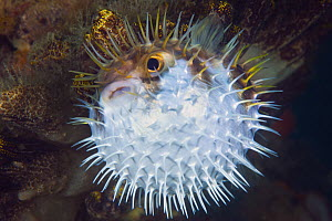 Porcupinefish (Diodon nicthemerus) in defensive posture, Port Phillip Bay, Mornington Peninsula, Victoria, Australia - Gary Bell/ Oceanwide