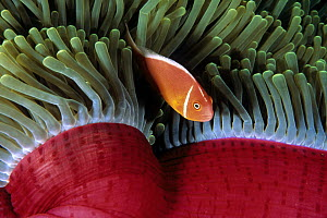 Pink Anemonefish (Amphiprion perideraion) male in sea anemone, Great Barrier Reef, Australia  -  Gary Bell/ Oceanwide