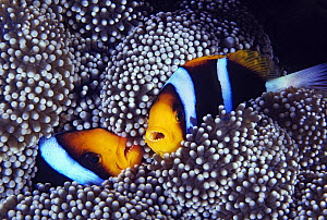 Orange-fin Anemonefish (Amphiprion chrysopterus) pair in sea anemone, Great Barrier Reef, Australia  -  Gary Bell/ Oceanwide