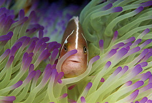 Pink Anemonefish (Amphiprion perideraion) in sea anemone, Great Barrier Reef, Australia  -  Gary Bell/ Oceanwide