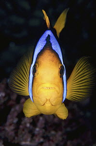 Orange-fin Anemonefish (Amphiprion chrysopterus), Great Barrier Reef, Australia  -  Gary Bell/ Oceanwide